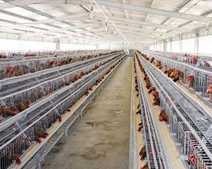 青年鸡养殖基地