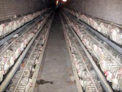 青年鸡养殖厂