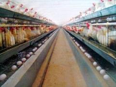 青年鸡养殖厂家