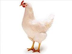青年鸡种鸡养殖