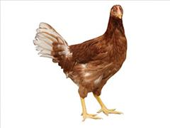 青年鸡种鸡