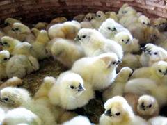 青年鸡鸡苗厂