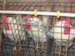 青年鸡蛋鸡