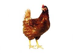 河北青年鸡价格