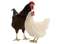 石家庄市青年鸡