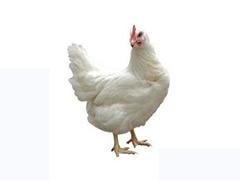青年鸡蛋鸡批发