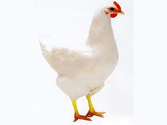 青年鸡育成鸡