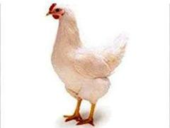 青年鸡养殖批发